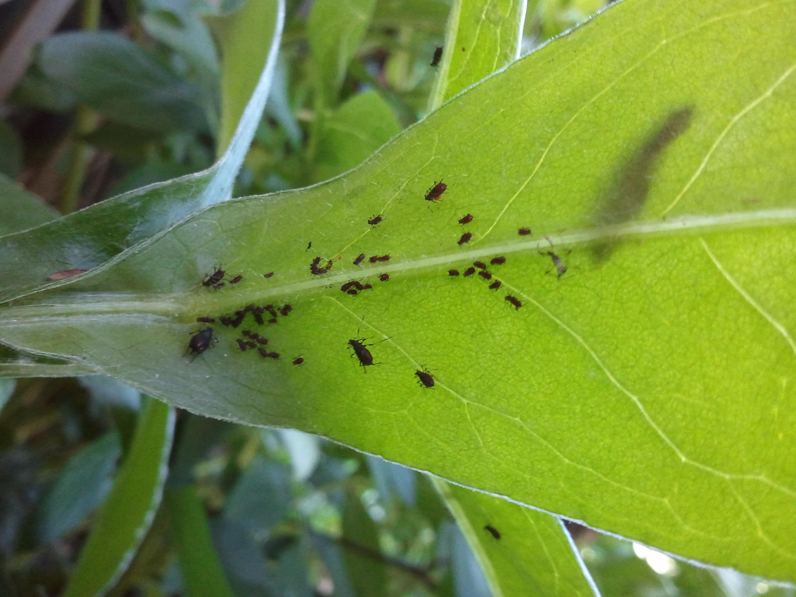 Jardinage. Insecticide naturel contre les pucerons
