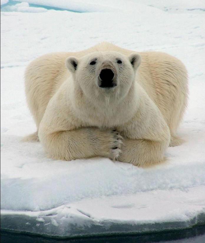 L'ours polaire, l'une des premières victimes du changement climatique