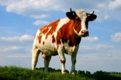 Vache