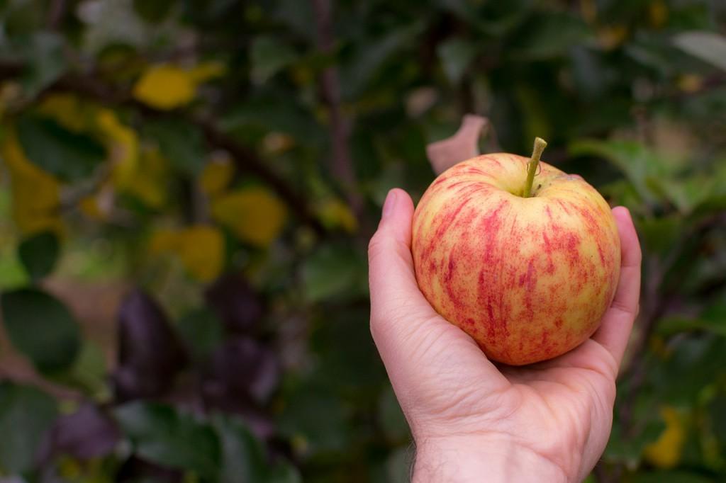 pommes-saison-fruit
