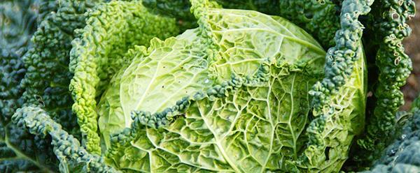 chou-vert-savoie-legume-vert-alimentation-01