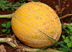 melon-fruit-ete-01