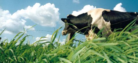 Vaches laitières