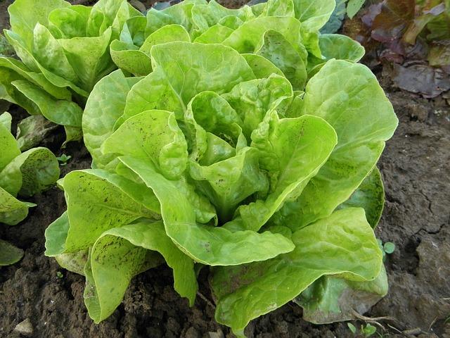 laitue-salade-verte