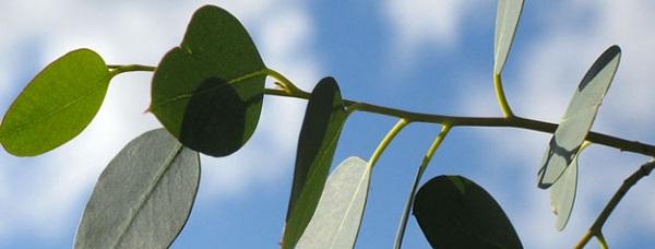 eucalyptus bienfaits