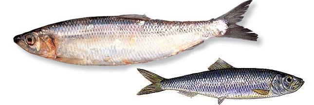 Le hareng, un poisson qu'on peut acheter
