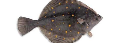 Le carrelet, poisson menacé à éviter