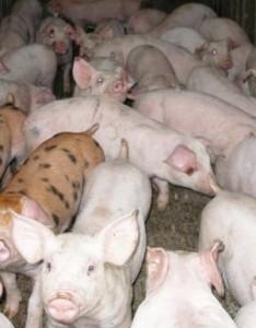 elevage-porcs