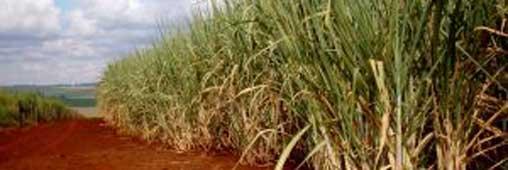 La canne à sucre chasse le pétrole