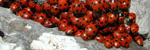 Les coccinelles asiatiques envahissent l&#039;Europe
