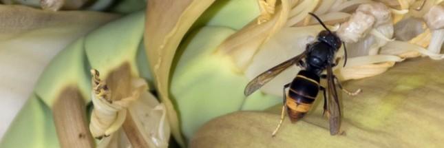 frelo, asiatique, Vespa velutina nigrithorax
