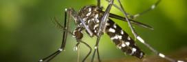 Le moustique tigre toujours présent en France