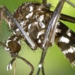Le moustique tigre toujours présent en France...