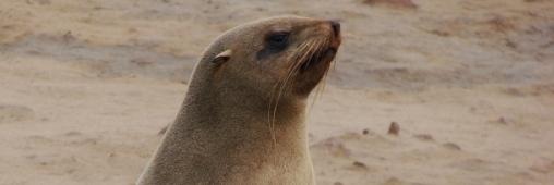 IFAW dénonce l'ouverture de la chasse aux phoques en Namibie