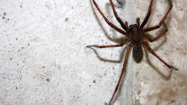 araignée-de-maison-brune-chasser-les-araignées