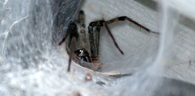 araignée-de-maison-brune-chasser-les-araignées-04