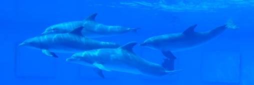 Dire non à la chasse aux dauphins au Japon