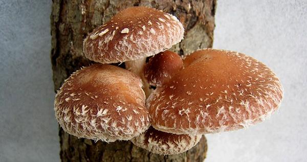 champignon-shiitake-shii-take-asie-sante-defenses-immunitaires-alimentation-01