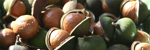 La noix de macadamia, l'anticholestérol par excellence