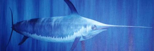 L'espadon, chasseur des mers gravement menacé