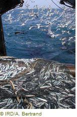 anchois-peche