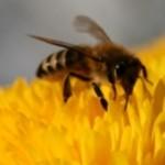 Un pesticide pour expliquer l'effondrement des colonies d'abeilles ?...