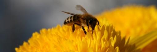Un pesticide pour expliquer l'effondrement des colonies d'abeilles ?