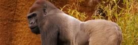 Biodiversité: il se bat pour sauver les gorilles