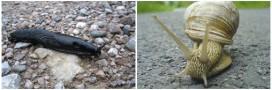 Alerte! Limaces et escargots envahissent les jardins!