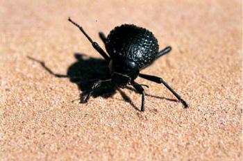 scarabee-tok-tokkie, désert
