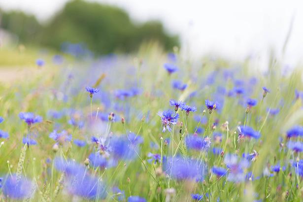 eau florale hydrolat cosmétique beauté bleuets