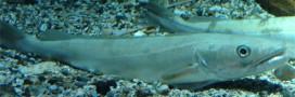Le merlu, poisson en danger à consommer avec modération
