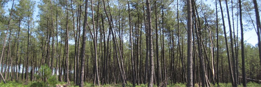 Le gigantesque chantier forestier des Landes