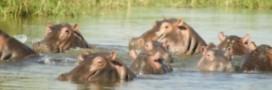 La plus vieille hippopotame du monde nous a quittés