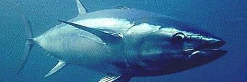Le thon rouge disparaît-il vraiment de Méditerranée ?