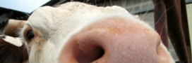 Foie gras, bien-être animal et filière porcine