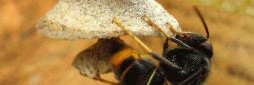 """Le frelon asiatique, classé """"espèce nuisible"""""""