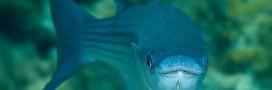 Le mulet, poisson à consommer sans risque pour la biodiversité