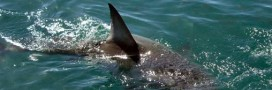 Le Costa Rica bannit le shark finning