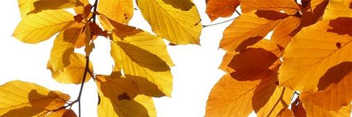 Pourquoi les feuilles changent-elles de couleur en automne ?