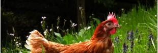 Anti-gaspillage : et si vous osiez des poules à la maison ?