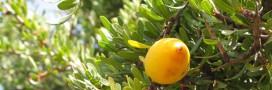 L'huile d'argan: végétale, cosmétique et diététique