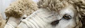 La laine de mouton: isolation écolo et performante