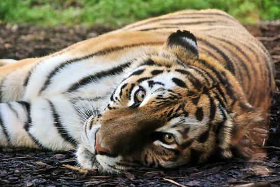 animaux-01-tigre
