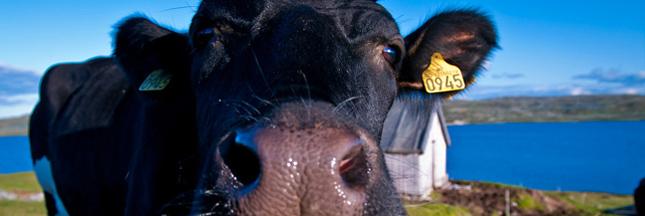 farines-animales-ban-vache
