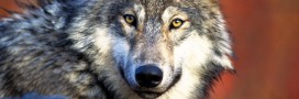 80% des Français favorables aux loups