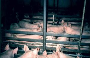 porcs-elevage intensif