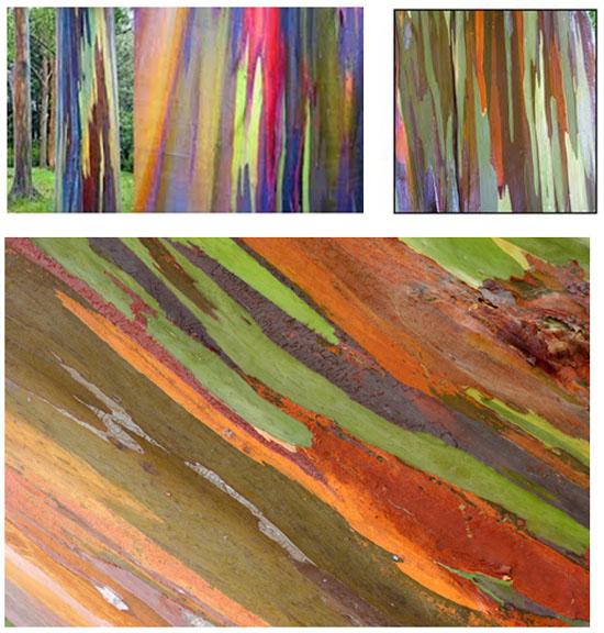 eucalyptus-arc-en-ciel-arbre