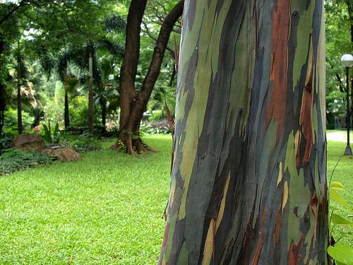 eucalyptus-rainbow