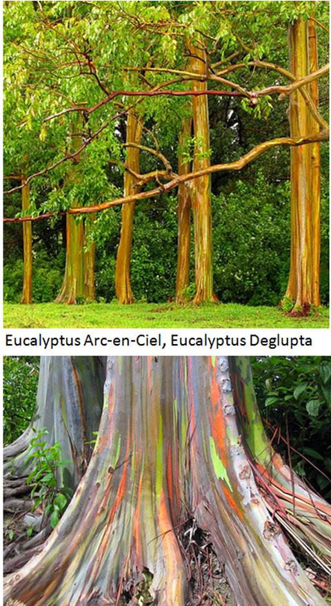 eucalyptys-arc-en-ciel-2